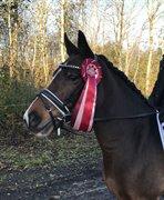 Horse for sale - LUNDGAARDS BOURBON