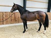 Horse for sale - DEODORO