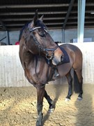 Horse for sale - SARINJA