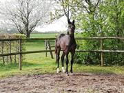 Horse for sale - HØJBO'S BOBBY BROWN