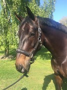 Hest til salg - NICOLOSI