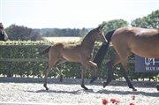 Horse for sale - LANGESKOVS ZAKIRA