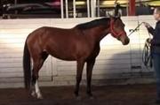 Hest til salg - TINY EG