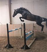 Horse for sale - Ternvigs Tougher Than the Rest
