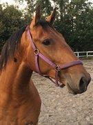 Horse for sale - DALSGÅRDENS ROMEO