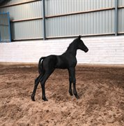 Horse for sale - EUROMAN