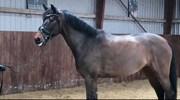 Hest til salg - LANDLYST ZAPHORA
