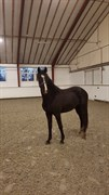 Hest til salg - Zimzallabim