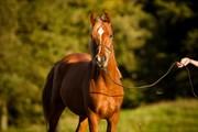 Horse for sale - ABHADULLA SUREH AL-QAMAR OX