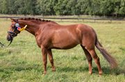 Horse for sale - Fredens Carmine Kiss