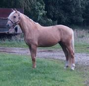 Horse for sale - Moelleaaens Golden Ares