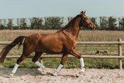 Horse for sale - PETRASMINDES FILCO