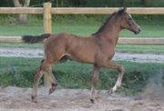 Horse for sale - Conville FF - Top springføl