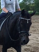 Horse for sale - ELMHOLTS ZEFYR