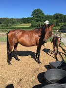 Horse for sale - G'S NICKI
