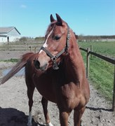 Horse for sale - JULIET MEG