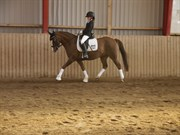 Hest til salg - VÆLDGÅRDENS PHOENIX