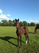 Horse for sale - LUNDTOFT'S PANORAMA