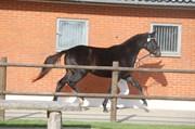 Hest til salg - DOMANI
