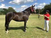 Horse for sale - RISBJERGGAARDS PRINCESS