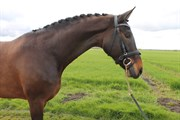 Horse for sale - TAARUPGAARDS QUISTA