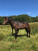 Horse for sale - KRINGS MENUETT