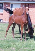 Horse for sale - SKOVGAARDENS FARINELLI