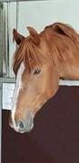Horse for sale - VESTERGÅRDS NILSON
