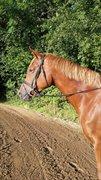 Horse for sale - Herslev marks liwa