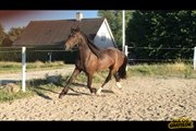 Horse for sale - Pollux-s