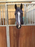 Horse for sale - Carnesh