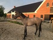Hest til salg - QUICK SILVER