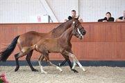 Hest til salg - RIBJERGS QUATTRO