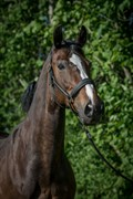 Horse for sale - POPPELGAARDENS CERES