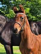 Horse for sale - Fincent E