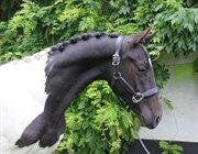 Horse for sale - LAURBERGS CAPRICE DE LUNE