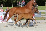 Horse for sale - PITTEGAARDENS LUCIA