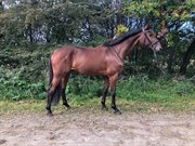 Horse for sale - O'LEARY