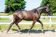 Horse for sale - RIISENGÅRDENS MERCURY