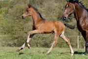 Horse for sale - LIPAS SHERLOCK