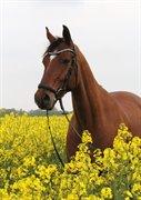 Horse for sale - HOUMARKENS DRESSAGE DE LUX