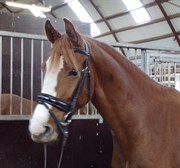 Hest til salg - SIC BLOSSOM