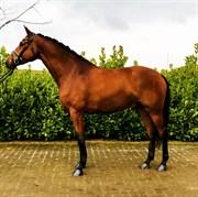 Hest til salg - BUDWEISER