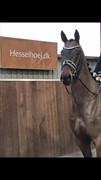 Hest til salg - Hesselhoej.dk