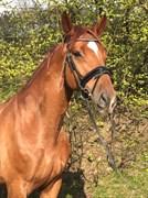 Hest til salg - KJELDGÅRDENS FREEZMANN