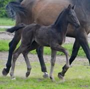 Hest til salg - Nothing else Matters KK's
