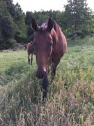 Horse for sale - WINDSPIEL