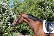 Horse for sale - Lillegårdens Live it!