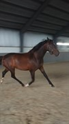 Horse for sale - SOL-ENGENS SHANTI