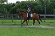 Hest til salg - LATCHMO HILLOCK